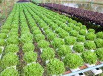 hydroponics-history