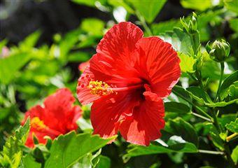 perennial-hibiscus